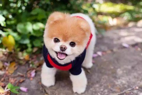 Dog, Mammal, Vertebrate, Dog breed, Canidae, Pomeranian, Puppy, Spitz, Companion dog, Akita,
