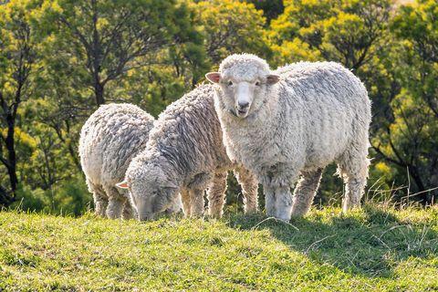 Sheep, Vertebrate, Sheep, Mammal, Pasture, Grassland, Natural landscape, Grazing, Livestock, Meadow,
