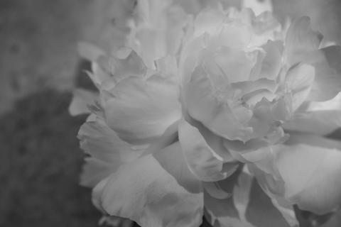 White, Petal, Monochrome photography, Black-and-white, Flower, Photograph, Plant, Peony, Flowering plant, Monochrome,